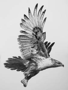 Hawk, 2014, 22x30in.  carbon pencil on paper